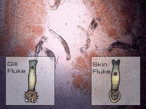 Image result for gill flukes